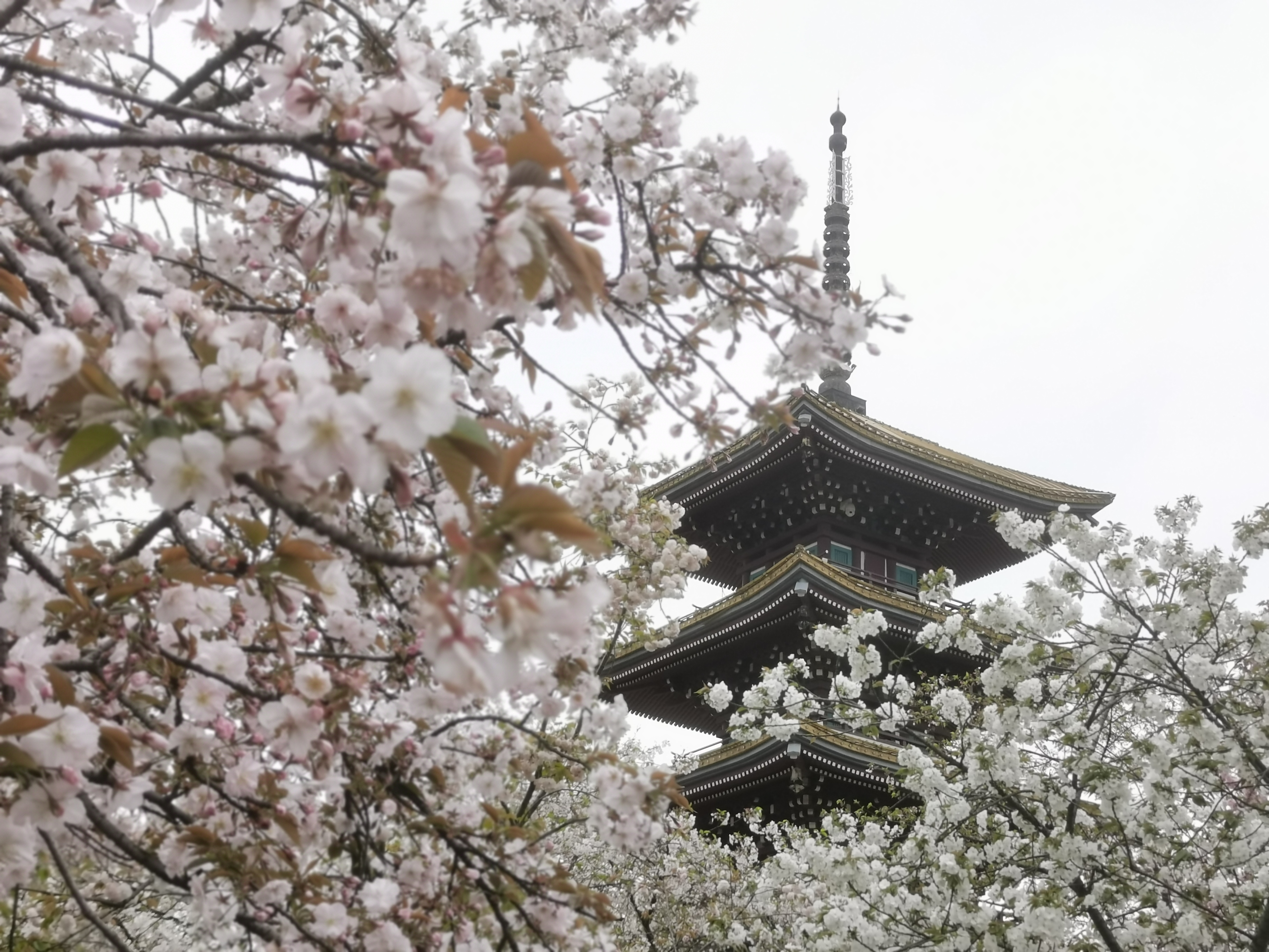 Exploring Wuhan Cherry Blossoms During Spring